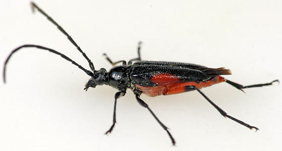 Longhorned Beetle - Pseudostrangalia cruentata