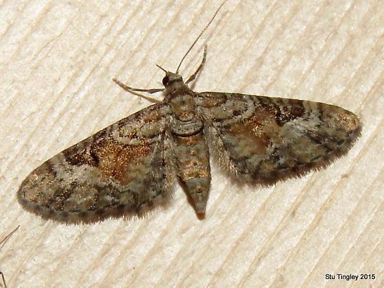 Eupithecia anticaria