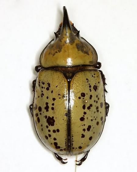Dynastes tityus (Linnaeus) - Dynastes tityus - male