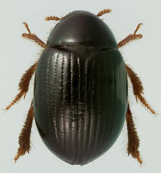 Trachyscelis aphodioides Latreille - Trachyscelis aphodioides