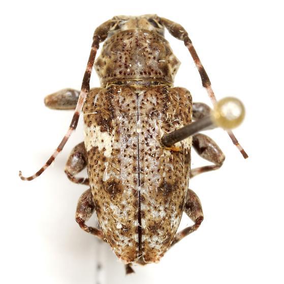 Aegomorphus quadrigibbus (Say) - Acanthoderes quadrigibba