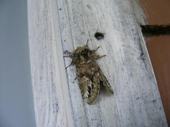Moth - Heterocampa umbrata