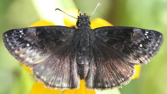 Erynnis - Erynnis baptisiae