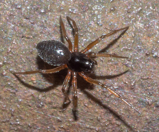 small, dark spider