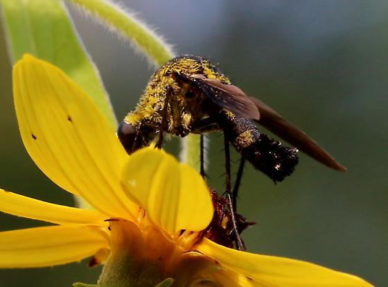 bee-like fly - Lepidophora lepidocera