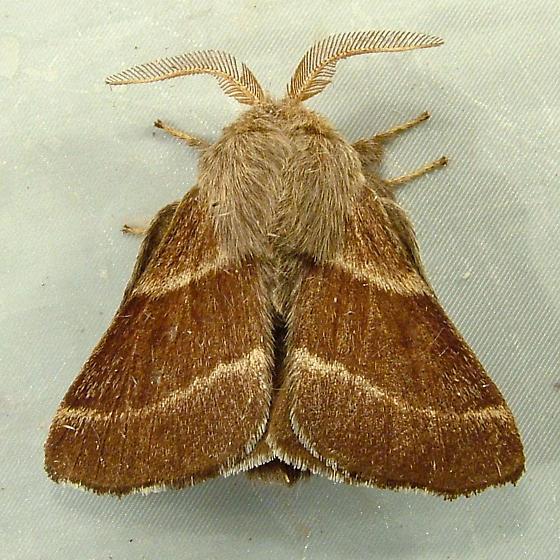 Malacosoma californica - Western Tent Caterpillar Moth 7702 - Malacosoma californica & Malacosoma californica - Western Tent Caterpillar Moth 7702 ...