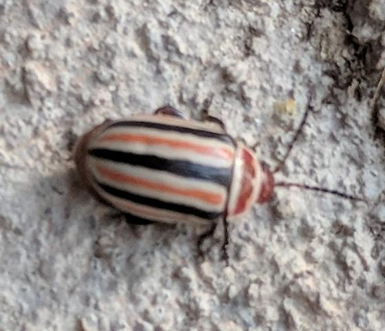 Small beetle with white, black, and orange stripes.  Red head, black legs. - Kuschelina