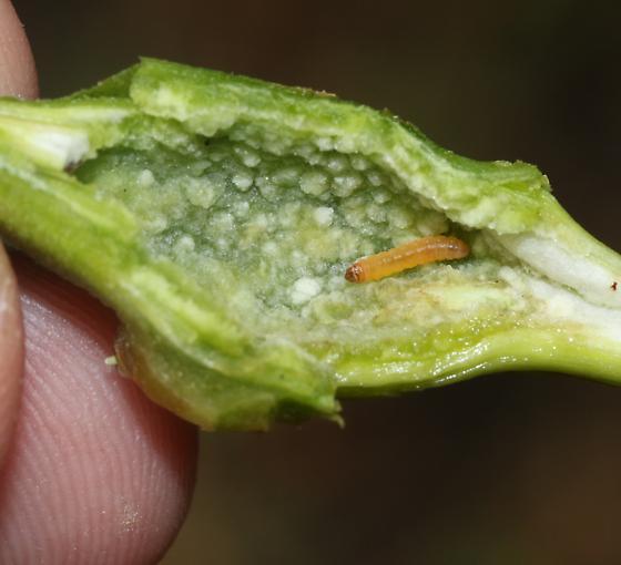 Stem gall on Baccharis pilularis - Gnorimoschema baccharisella