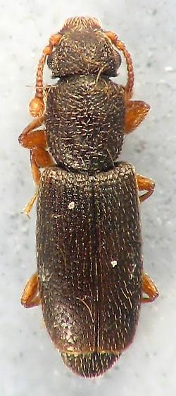 small Monotomidae - Monotoma longicollis