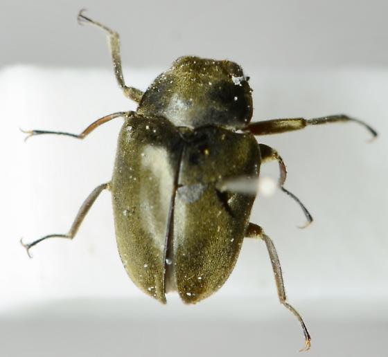 Travertine Beetle - Lutrochus