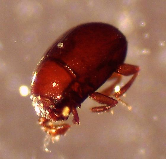 Tiny beetle extracted from wood chip compost - Bacanius