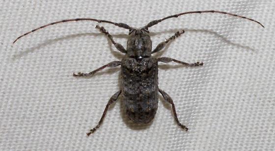 Gray longhorn beetle - Ecyrus dasycerus