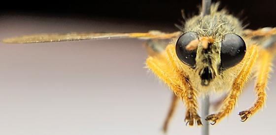 Belden Fly - Andrenosoma hesperium