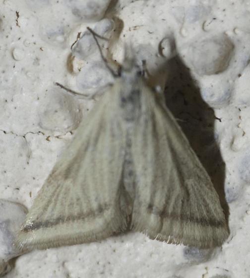 A mix of medium size Pyralid-like guys - Microtheoris vibicalis