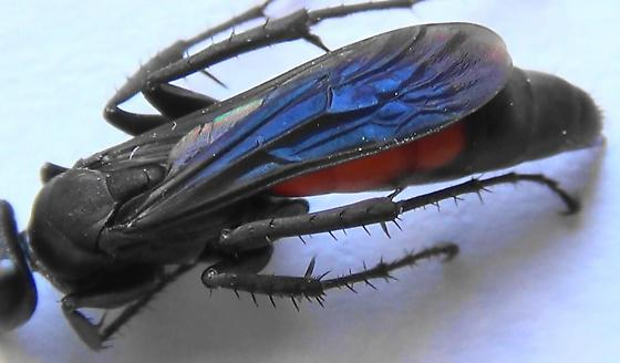 Spider Wasp Body Scan (wings) - Anoplius americanus - female