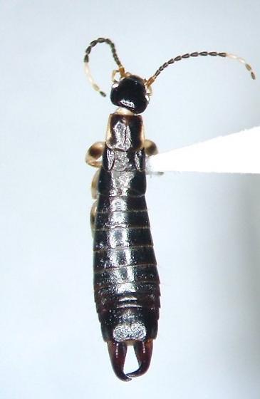 Euborellia annulata - male