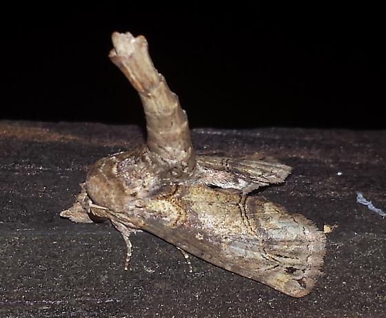 Large Paectes Moth ? - Paectes abrostoloides