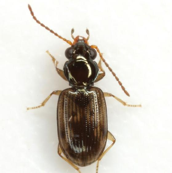 Bembidion impotens Casey - Bembidion impotens