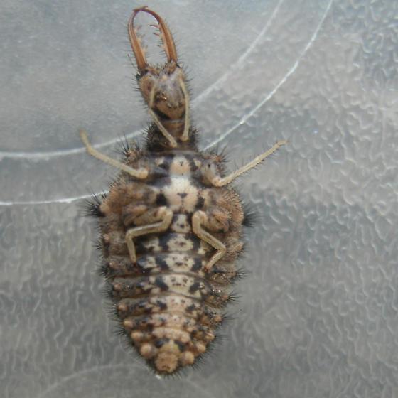 Myrmeleontidae - Myrmeleon