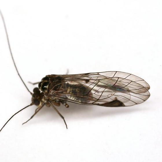 Metylophorus novaescotiae (Walker) - Metylophorus novaescotiae