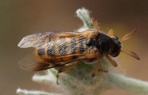 What is this - a beetle??? - Ripiphorus vierecki - female