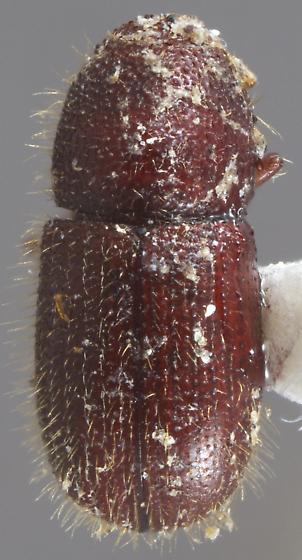 Coccotrypes dactyliperda