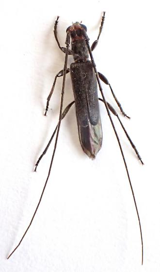Styloxus or Methia? - Styloxus bicolor