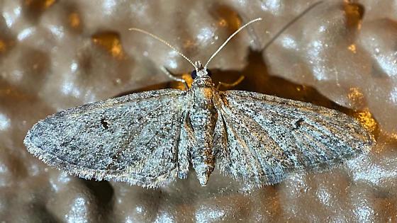 Boarmiini? - Eupithecia