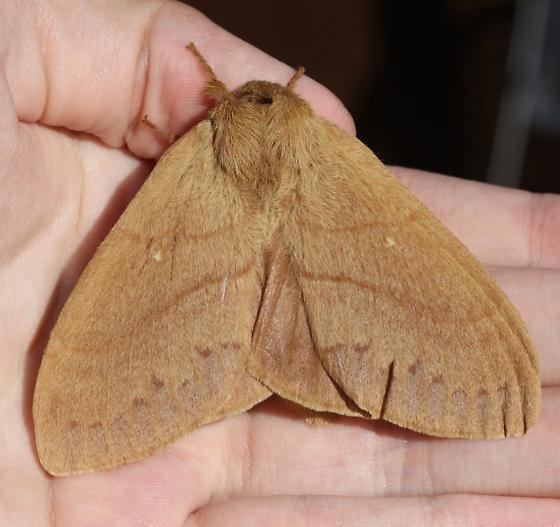 Lasiocampidae - Dicogaster coronada