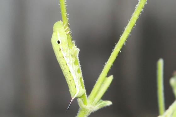 Caterpillar Larva - Xylophanes tersa