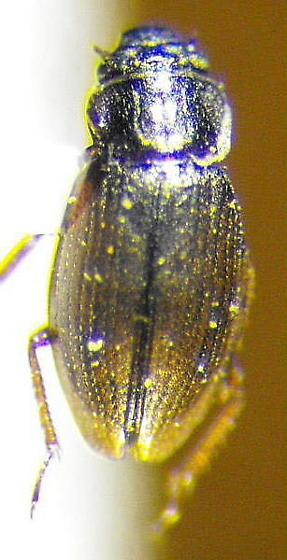 Ochthebius - Ochthebius lineatus