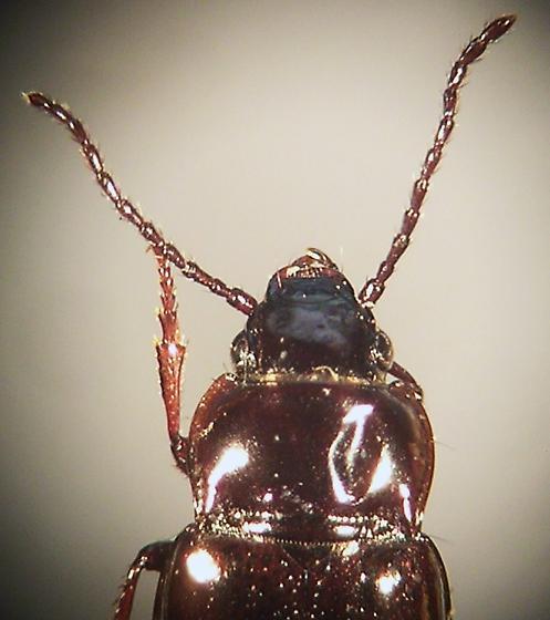 Trachypachidae - Trachypachus holmbergi - Trachypachus inermis