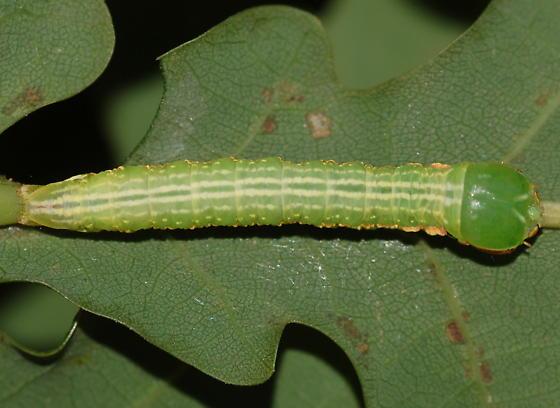 Caterpillar on Quercus alba - Peridea angulosa
