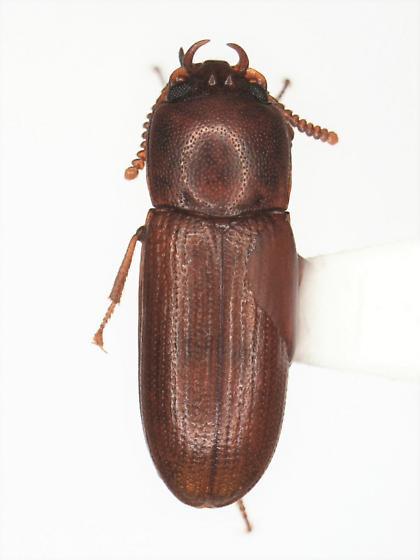 Gnatocerus - male