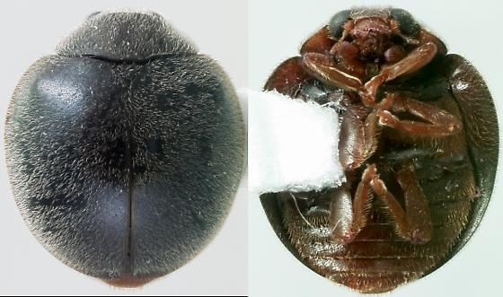 Another accidental introduction - Anovia circumclusa
