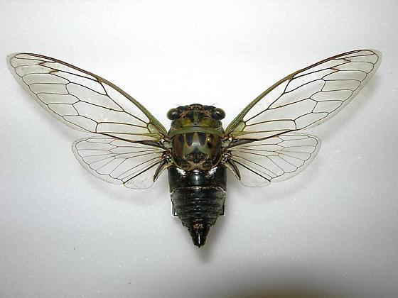 Tibicen pruinosus - Neotibicen pruinosus - male