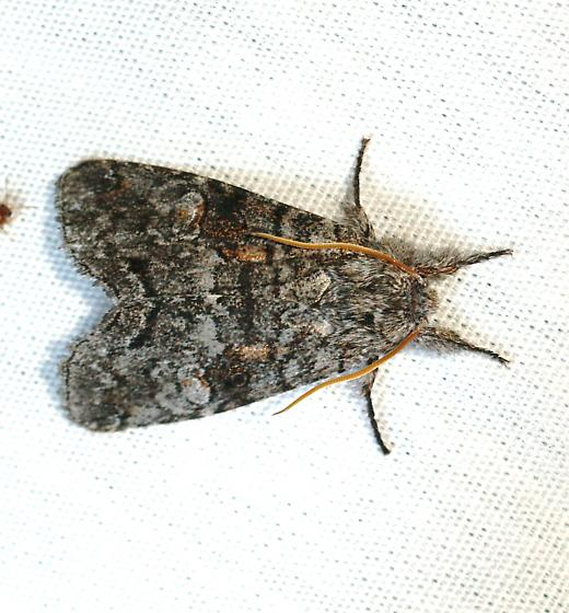 Moth - Meleneta antennata