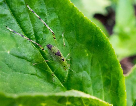 Katydid nymph?? What species? - Microcentrum