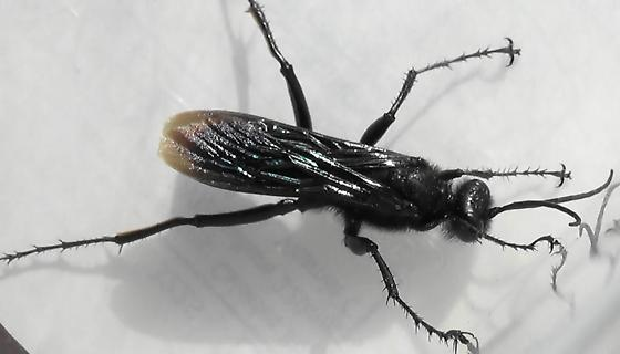 Thread-waisted Wasp Segmented (dorsal) - Prionyx - male