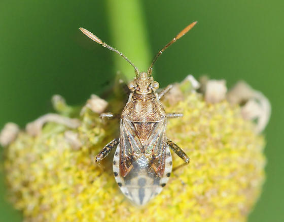 Scentless Plant Bugs Stictopleurus punctiventris - Stictopleurus punctiventris