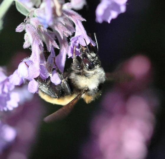 pollinator  4 - Bombus appositus