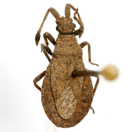 Scolopocerus