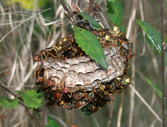paper wasp nest removal Paper wasp nest removal in austin, round rock, leander, pflugerville & cedar park, texas if you should find paper wasps on your commercial or residential grounds .