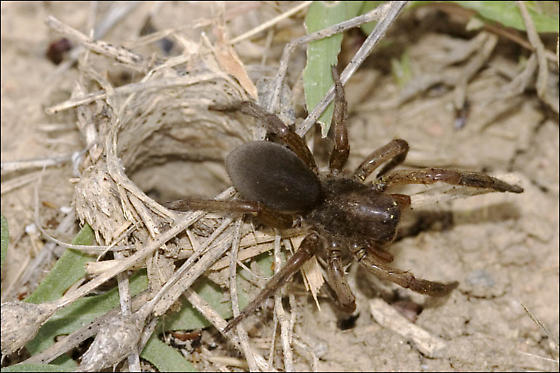 Possible Geolycosa missouriensis - Geolycosa missouriensis