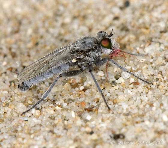 Oso Flaco mini-robber - Lasiopogon littoris