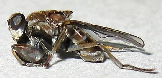 Raptorial Shore Fly - Ochthera