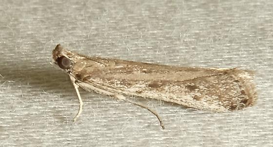 Moth ID Request - Phycitodes reliquellum