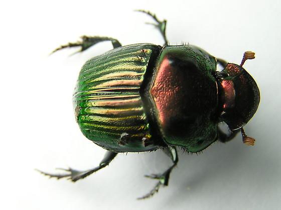 Rainbow Scarab - Phanaeus igneus - male