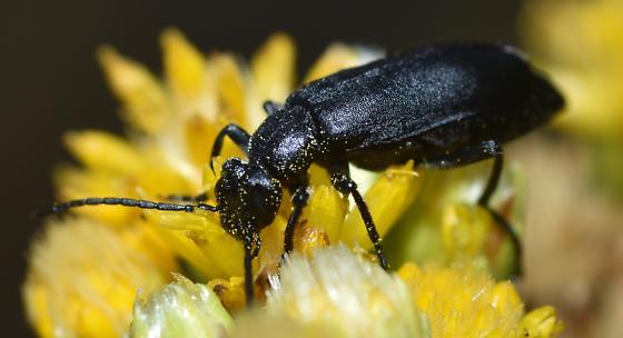 Blister Beetle on Goldenbush