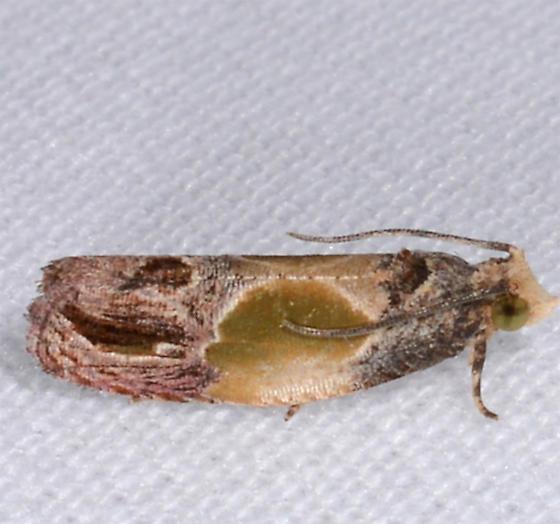 Eumarozia malachitana